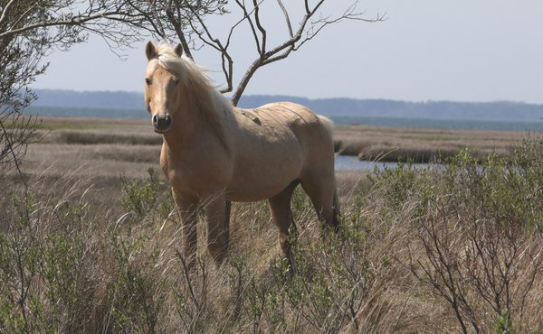 Chief Golden Eagle of the Chincoteague Ponies thumbnail