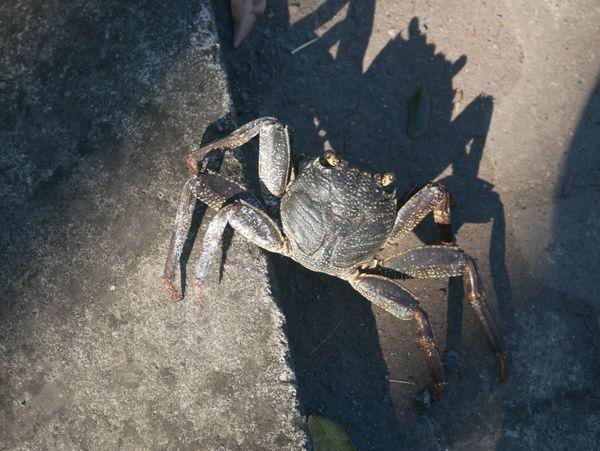 Shadow Crab thumbnail