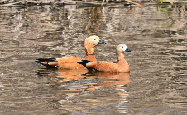 Pair of Ruddy Shelducks on the Gokgyocheon River thumbnail