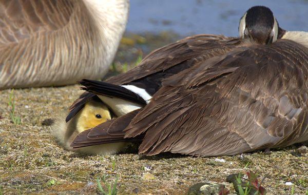 Canada Goose - Gosling - Peek a Boo thumbnail