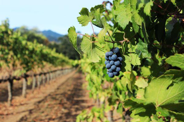 Napa Valley Grape Vine thumbnail