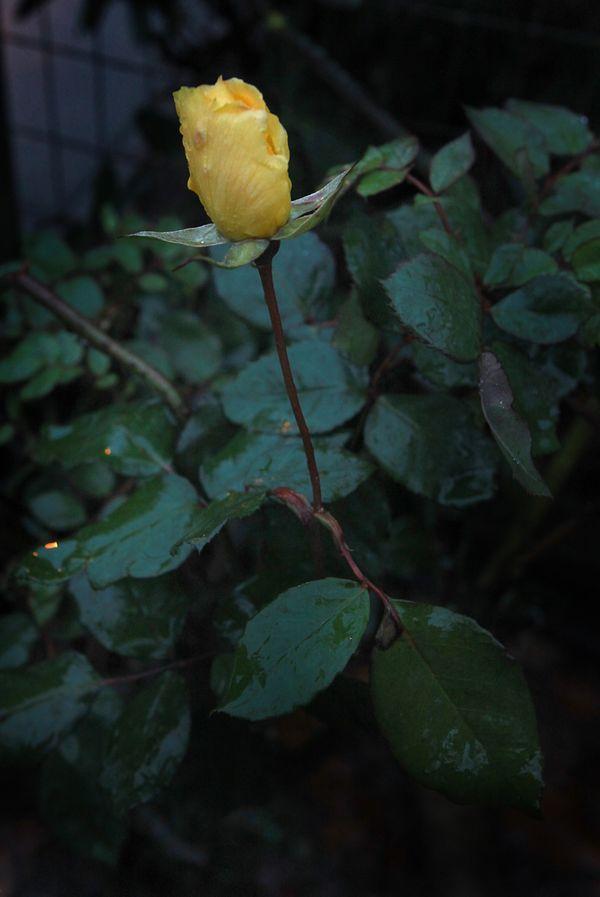 Iced Yellow Rose thumbnail