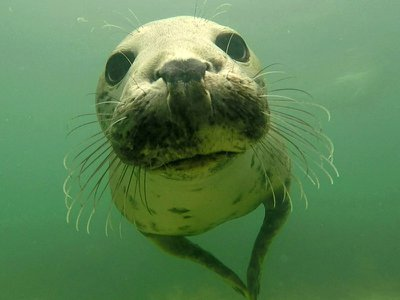 Grey seals will clap their forelimbs together underwater, generating a sharp sound that communicates to others around them.