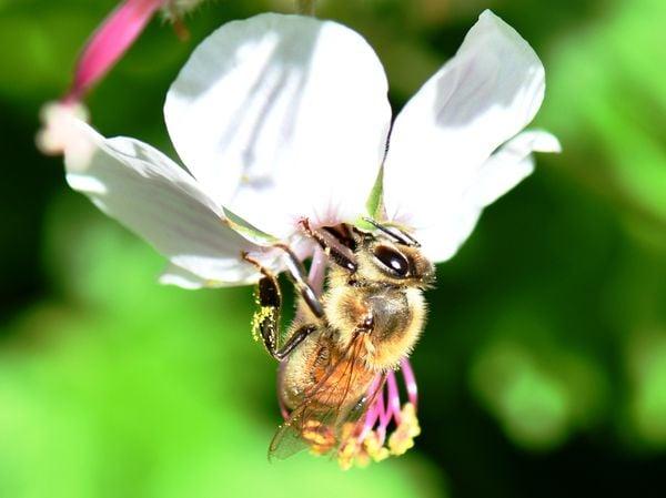 Honeybee on hardy geranium thumbnail