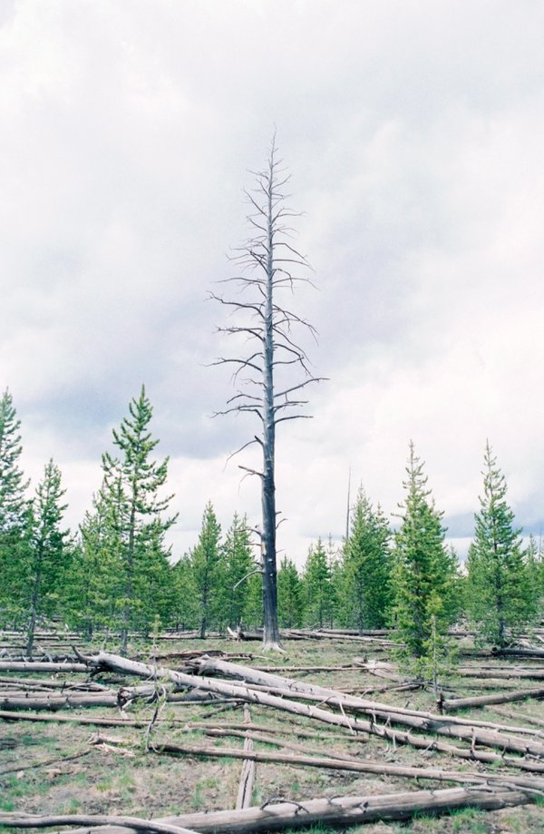 Lone Lodgepole Pine thumbnail