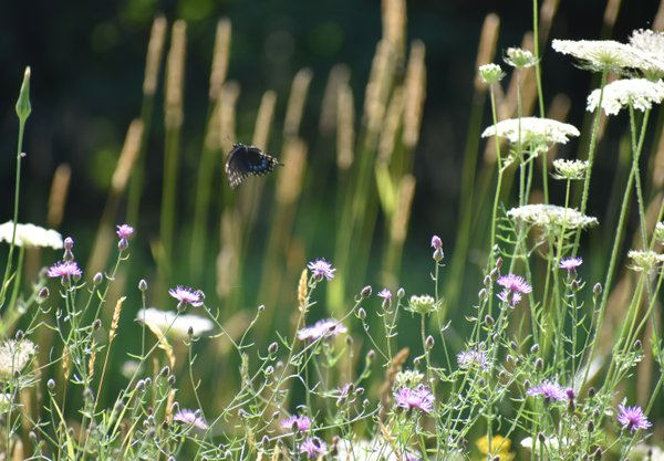 Black Swallowtail in flight thumbnail