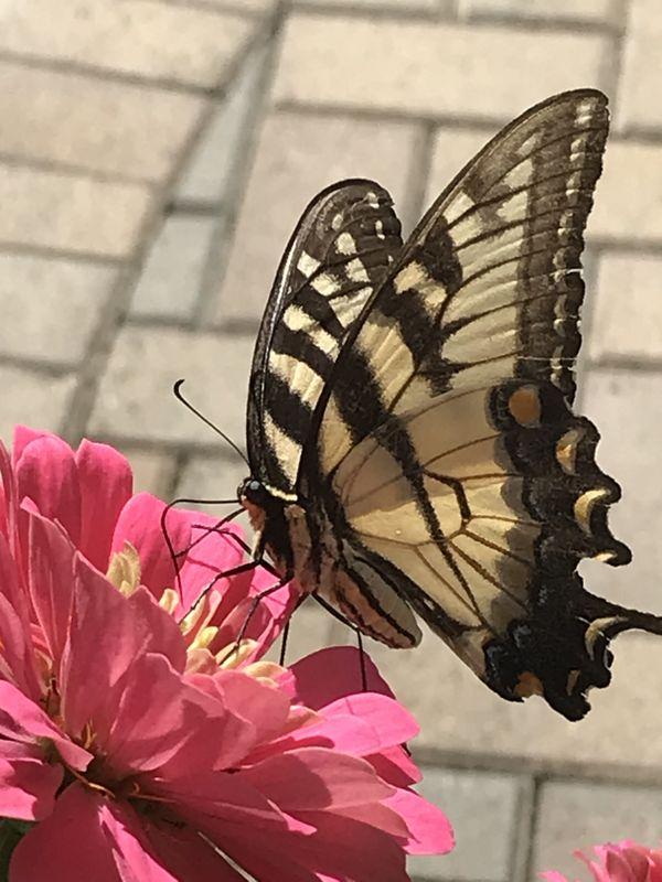 Yellow butterfly on zinnia thumbnail