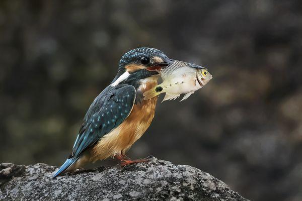 Common Kingfisher and a fish thumbnail