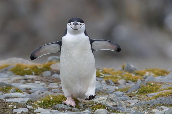 Chinstrap Penguin on Robert Island thumbnail