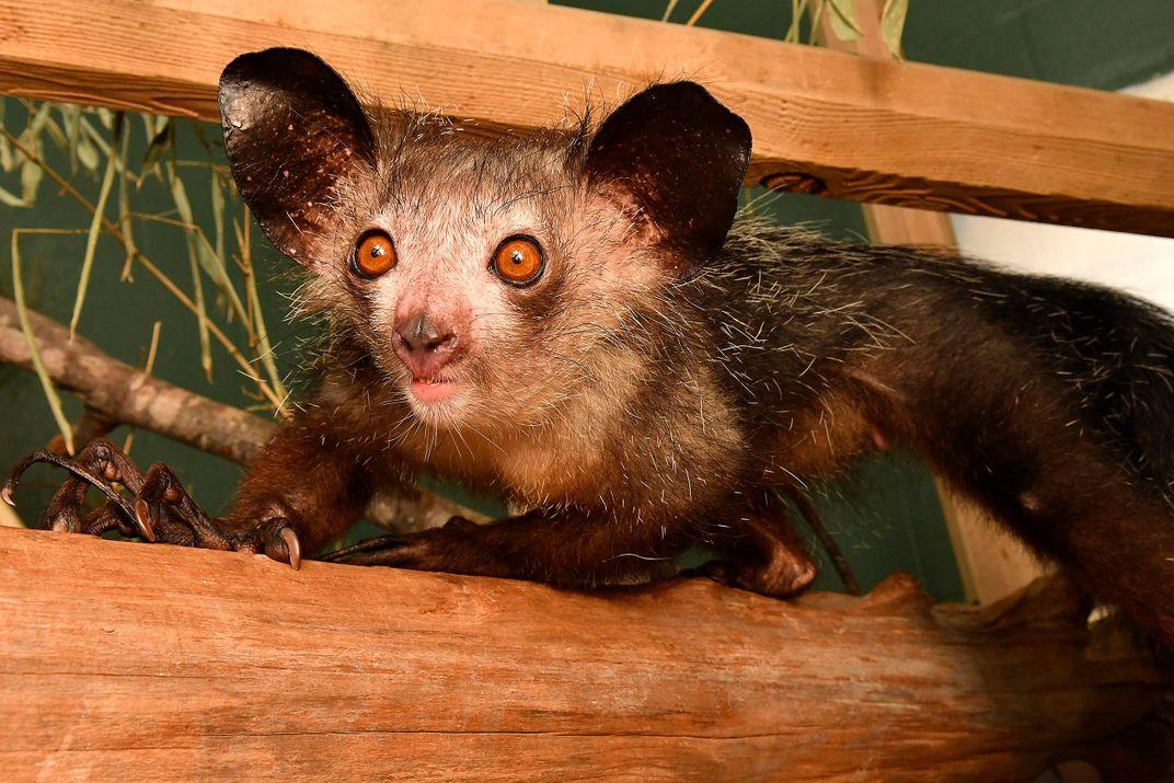 Extra Thumb Discovered on Aye-Aye Lemurs, Giving These Primates Six Fingers
