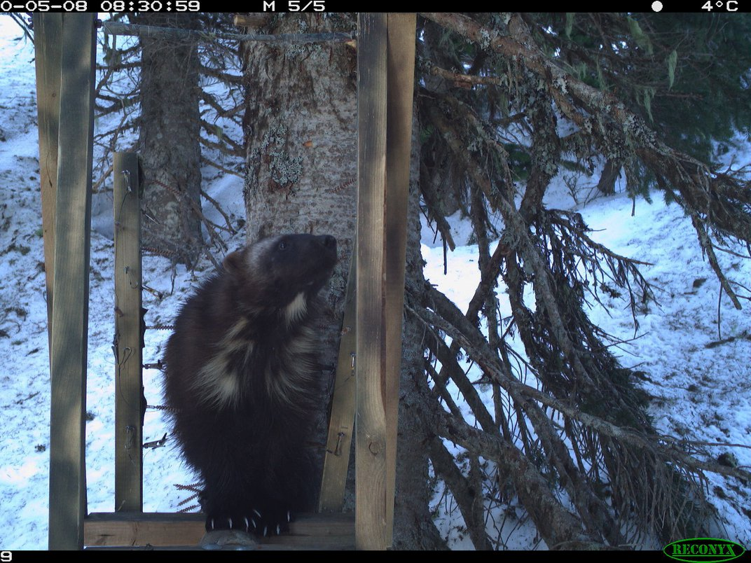 First Wolverine Family Makes a Home in Mount Rainier National Park in 100 Years