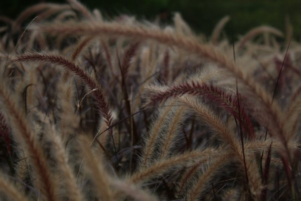 Ornamental grasses sway in the wind at Montreal's Jardin Botanique. thumbnail