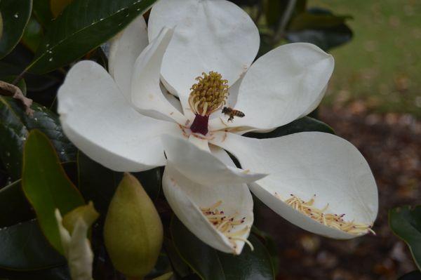 Bee & Magnolia  thumbnail