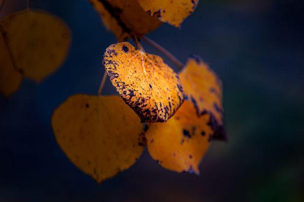 Aspen in Autumn thumbnail