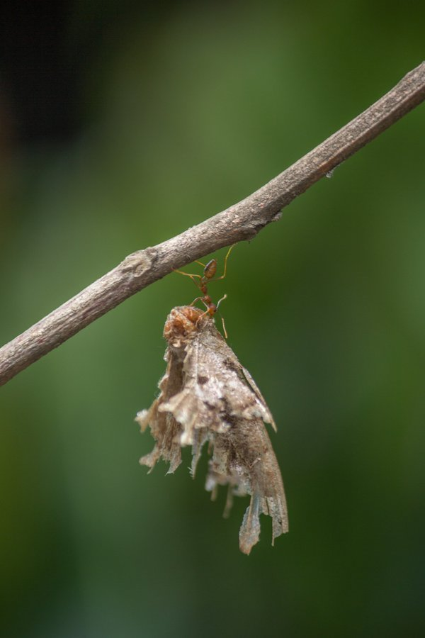 An Ant carrying a dead moth on a branch thumbnail