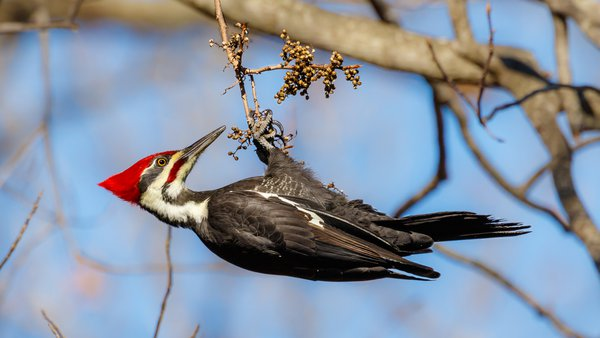 Pileated Woodpecker eating poison ivy berries. thumbnail