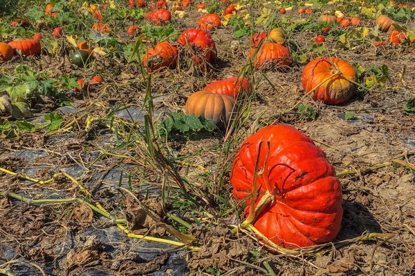 Pumpkin harvest thumbnail