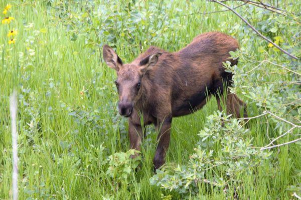 Moose Calf thumbnail