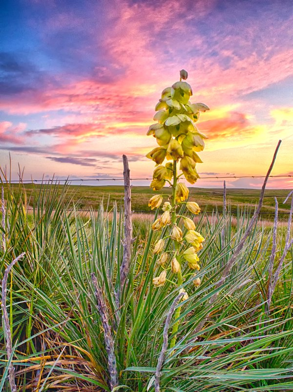 Yucca Plant in the Fading Kansas Sunset thumbnail