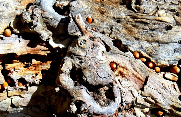 Acorns stuck in tree bark Placerita Canyon State Park, CA thumbnail