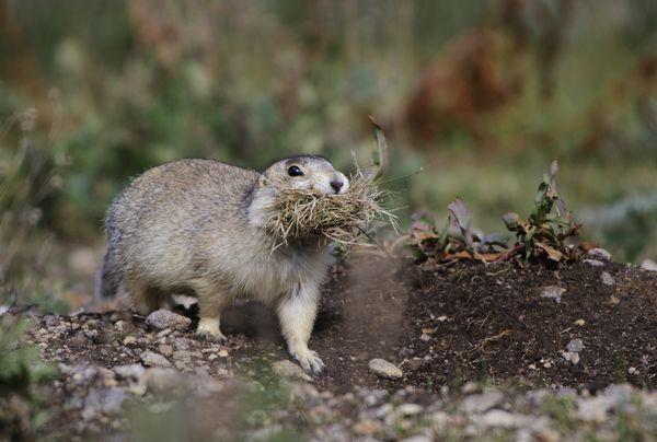 Prairie Dog Nest thumbnail