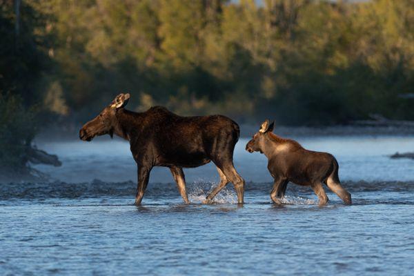 Moose Crossing thumbnail