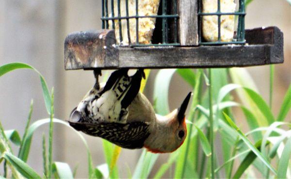 Batman Woodpecker thumbnail
