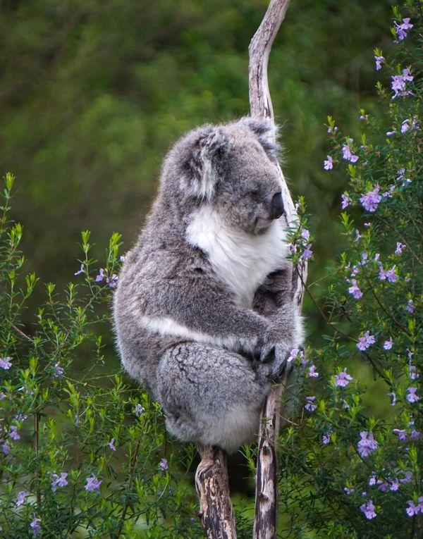 A Tree Hugging Koala thumbnail