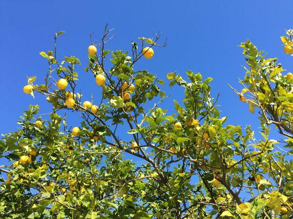 Lemon tree thumbnail