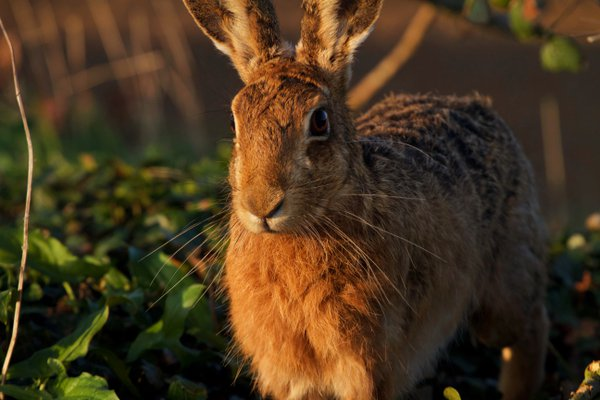 Hare In The Late Evening Sun thumbnail