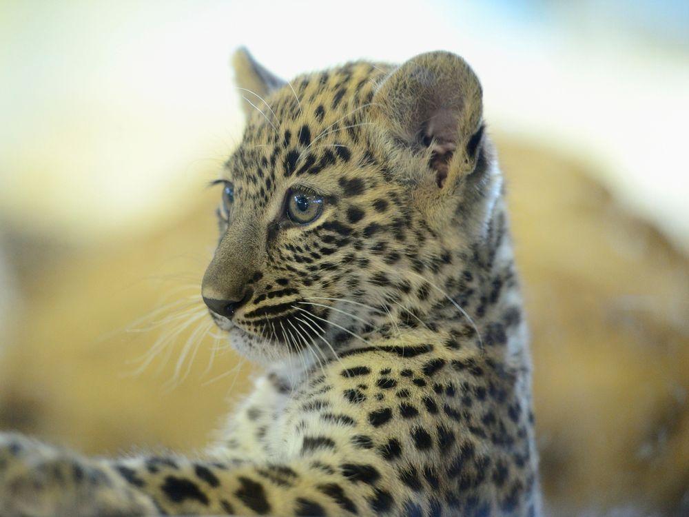 12_22_2014_leopard.jpg