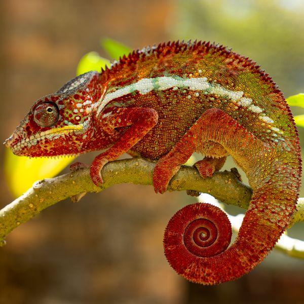 Red Chameleon thumbnail