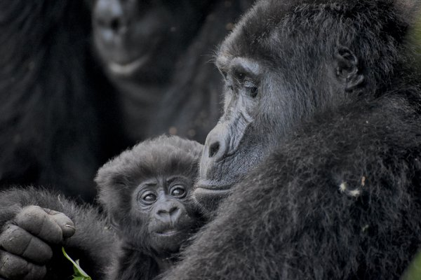 Mountain Gorilla Family Life thumbnail