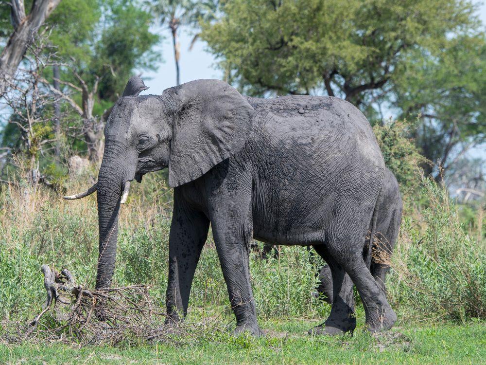 An elephant in the southeast Okavango Delta, Botswana in 2019