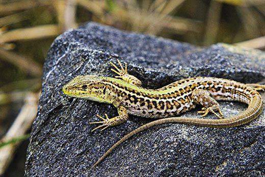 Lizards on Greek islands