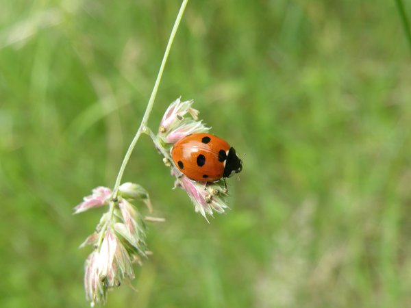 A Ladybug on a blade of grass thumbnail