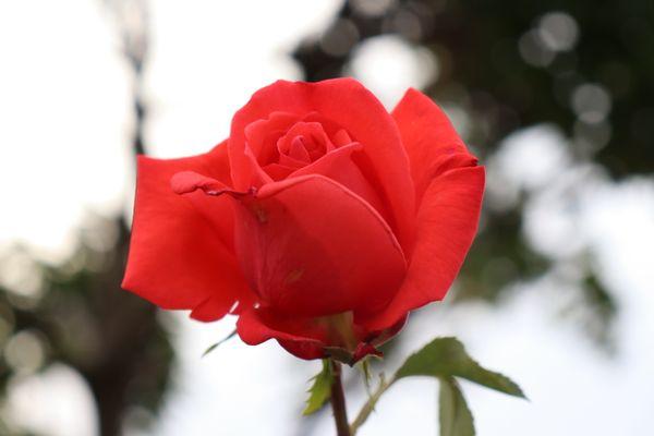 British rose thumbnail