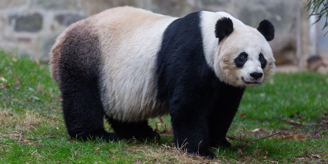 A female giant panda stands in a grassy yard