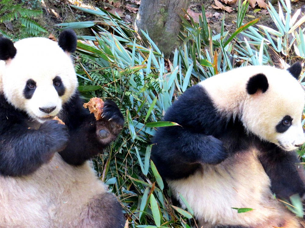 Two pandas at China's Chengdu Research Base of Giant Panda Breeding (also called Chengdu Panda Base or CPB).