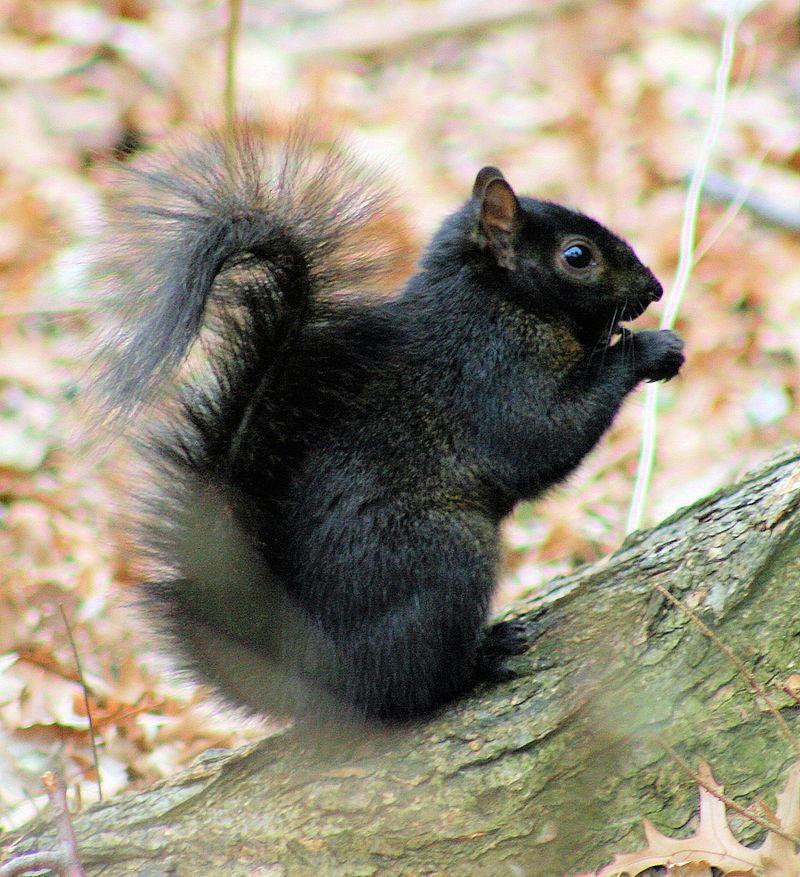 Interspecies Breeding Is Responsible for Some Squirrels' Black Coloring