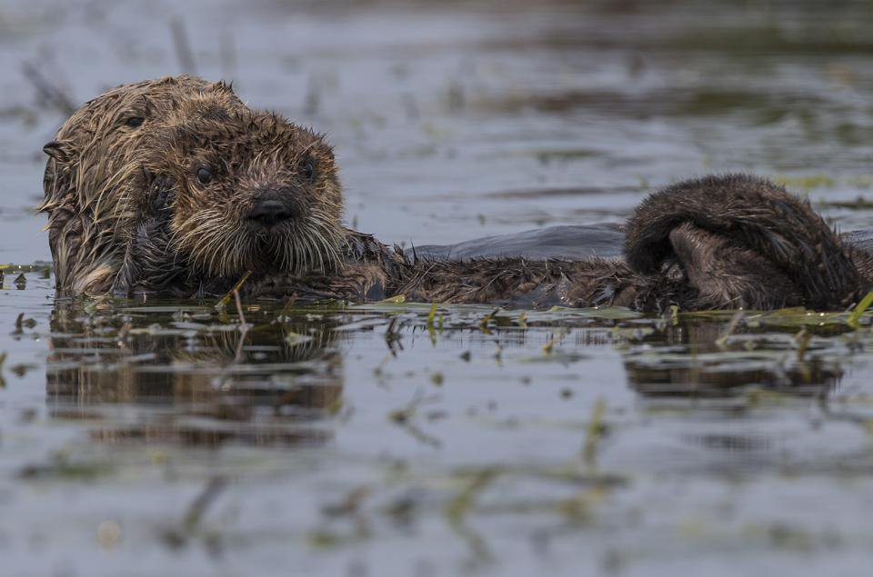 Parasite Spread by House Cats Is Killing California's Sea Otters