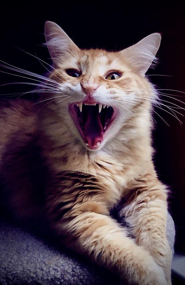 Cat Yawn thumbnail
