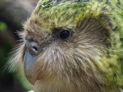 Sirocco, currently MIA, has helped millions connect with the island's endangered wildlife.