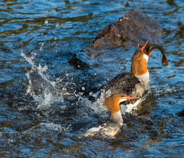 Common Mergansers With Trout 4 thumbnail