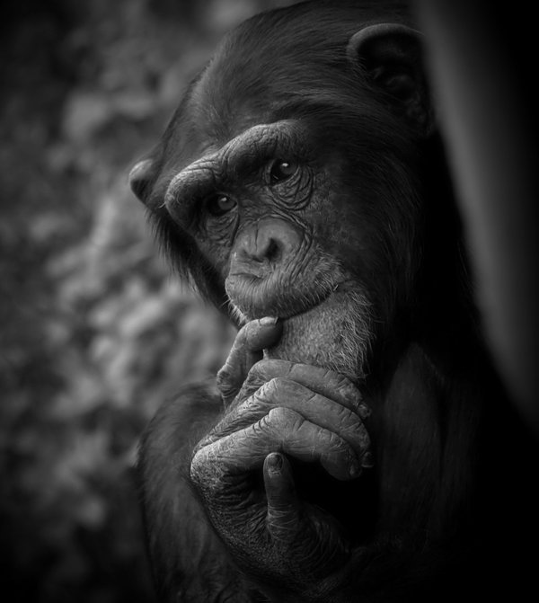 Contemplative Chimp Canon 20D thumbnail