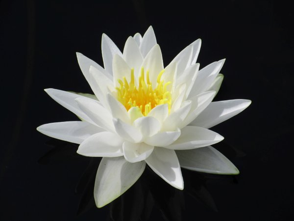 Water Lily on Lake thumbnail
