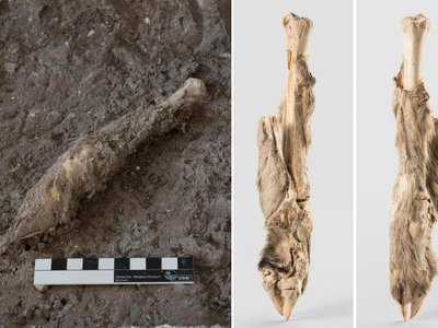 DNA from the skin of this mummified sheep leg allowed researchers to study sheep husbandry practices in ancient Iran.