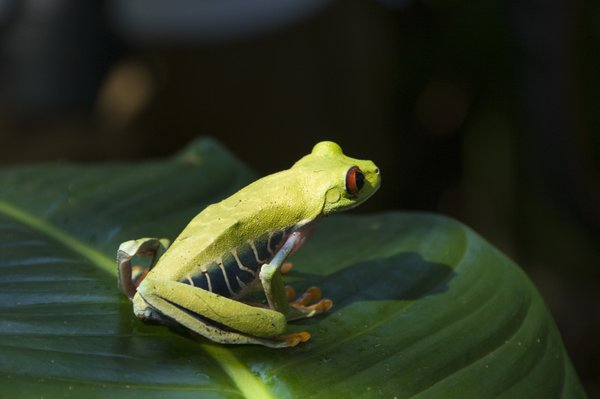 Rare tree frog on leaf in a protected environment in Costa Rica. thumbnail