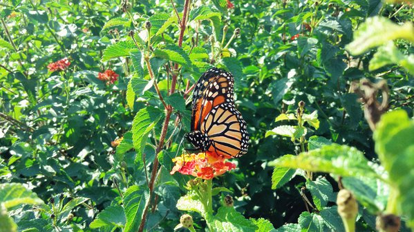 A Monarch Butterfly Among Flowers thumbnail
