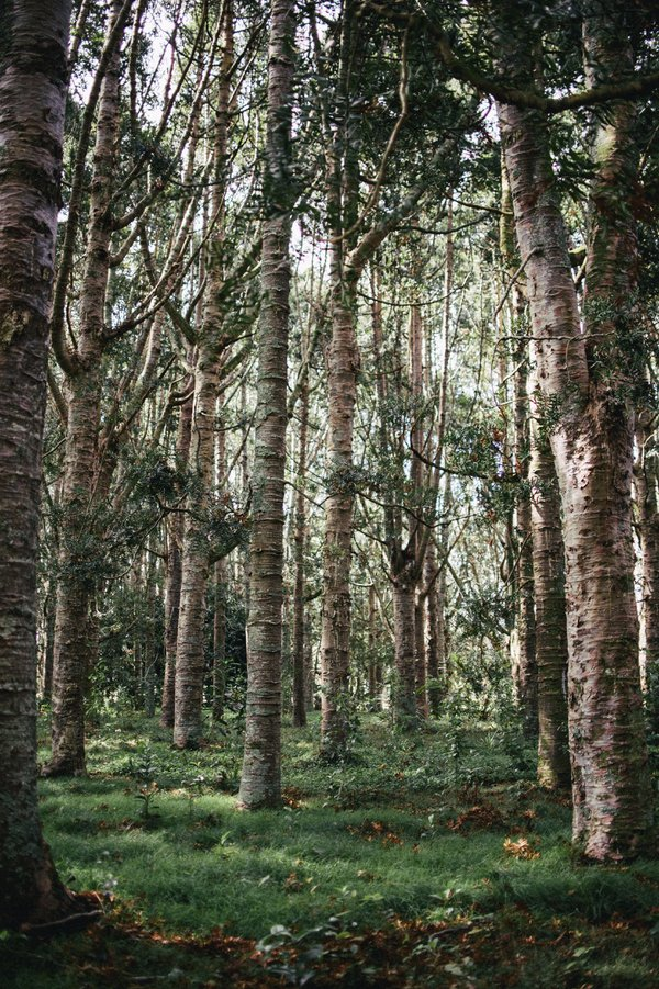 Kauri forest in Auckland thumbnail